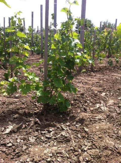 Подвязка виноградника