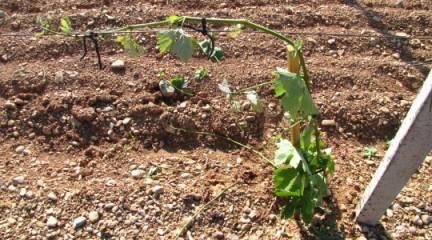 опоры для виноградника, металлические опоры для винограда, деревянные опоры для винограда, опора для шпалеры, опоры виноградника, бамбук для виноградника, дубовые колья для виноградника