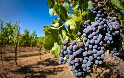 Виноград-Rod-сад-Листья-900x1440